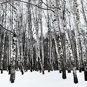 pic of birchwood  - snowy white birchwood in cold winter day - JPG