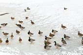 Flock Of Ducks On Ice In Frozen River