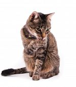 image of licking  - Brown tabby cat licking her paw - JPG