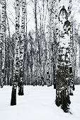 picture of birchwood  - bare tree trunks in birch forest in snow winter - JPG