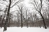 Bare Oaks And Pine Trees In Winter Forest