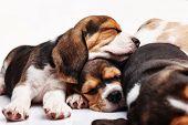 stock photo of puppy beagle  - The three beagle Puppies - JPG