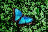stock photo of butterfly-bush  - Blue Morpho butterfly  - JPG
