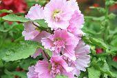 foto of hollyhock  - Purple hollyhock flowers - JPG
