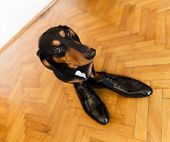 image of mans-best-friend  - Elegant and funny dachshund dog in leather men shoes on parquetry  - JPG