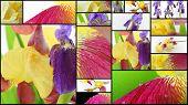 stock photo of purple iris  - Purple and yellow iris various flowers collage - JPG