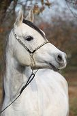 picture of arabian horse  - Portrait of amazing arabian horse with show halter in autumn - JPG