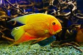 stock photo of freshwater fish  - Tropical freshwater fishes of Venezuela and Paraguay - JPG