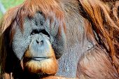foto of rainforest animal  - The orangutans - JPG