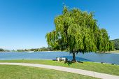 foto of fountain grass  - Round grass area near lake with willow tree - JPG