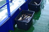 picture of cod  - cod fishes in black box on deck - JPG