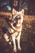 picture of husky sled dog breeds  - Portrait of beautiful brown husky dog outdoor in the forest - JPG