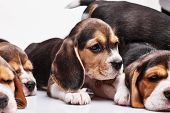 picture of puppy beagle  - Beagle puppy lying on the white background among other sleeping puppies - JPG