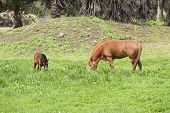 stock photo of pony  - young and mother pony - JPG