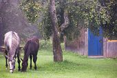 stock photo of horses eating  - Two horses eating apples on the green grass in the countryside near the house - JPG
