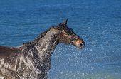 foto of wild horse running  - Black horse running in the blue sea - JPG