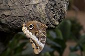 Постер, плакат: Owl Butterfly On A Trunk