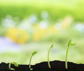 picture of germination  - Bean seed germination different stages on nature background - JPG