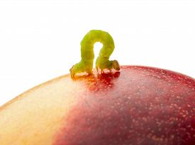 pic of inchworm  - Macro of looper on red peach isolated on white - JPG